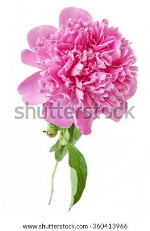 Peony flowers isolated on white background - stock photo