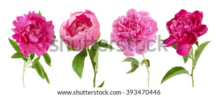 Peony flowers set isolated on white background. Pink, purple, red and rosy peony in blossom and bud