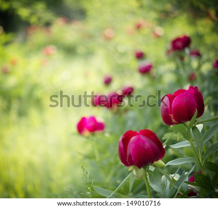 Peony (Paeoniaceae) field in meadow during sunrise - stock photo