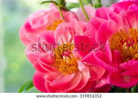 Peony petals with dew drops, delicate floral background with copy space