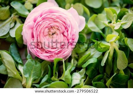 Peony- rose - stock photo