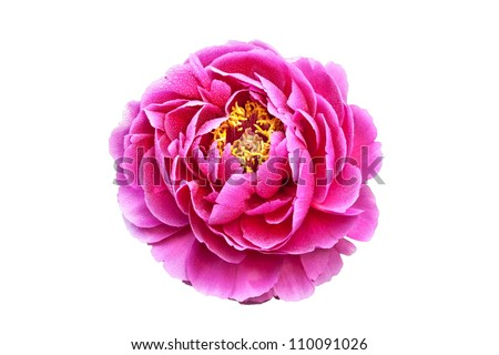 peony with dew. It is on white background. - stock photo