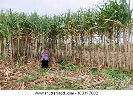 People are cutting sugar cane,Thailand. - stock photo