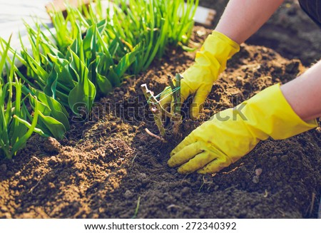 people, gardening, flower planting and profession concept - close up of woman or gardener hands planting roses to flower pot  - stock photo