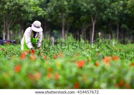 People harvesting chilli  agriculteral in organic farm in Thailand - stock photo