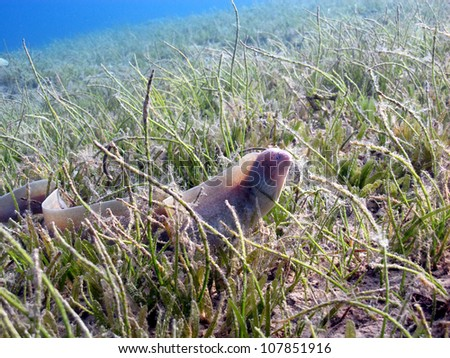 Pepper - grey moray (Gymnothorax griseus) - alone in the bottom - stock photo
