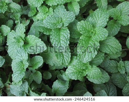 Pepper mint leaves - stock photo
