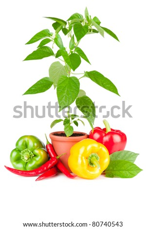 Pepper plant with white flowers growing in ceramic pot, sweet paprika and chili fruits on white background - stock photo