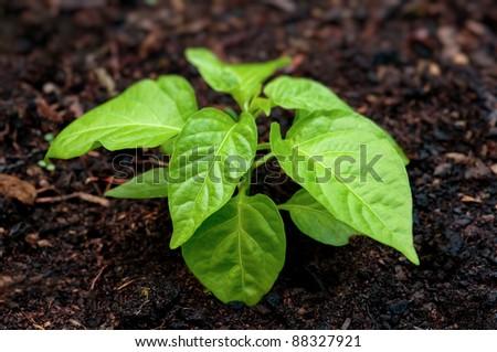 Pepper seedling plant in soil - stock photo