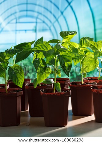 Pepper seedlings in greenhouse - stock photo