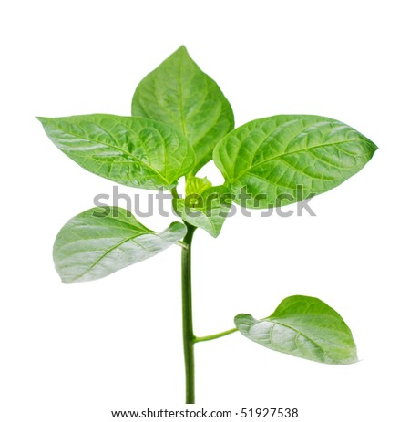 Pepper sprouts, isolated on white background - stock photo