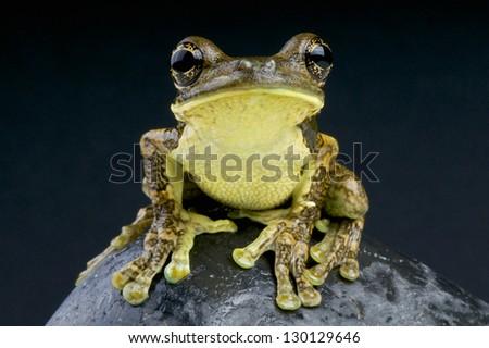 Pepper Tree Frog / Trachycephalus venulosus - stock photo