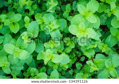 peppermint herb leaf in natural garden