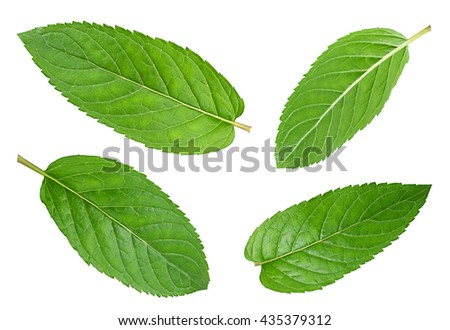 Peppermint leaf closeup isolated on white background