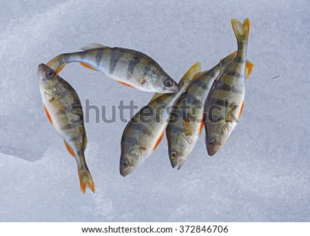 Perch caught lying on the ice - stock photo