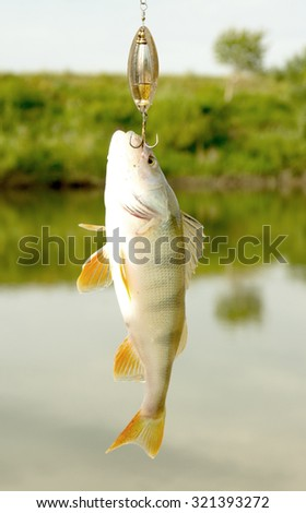 Perch caught on  lure against the landscape - stock photo