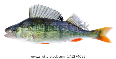 Perch fish isolated on white background - stock photo