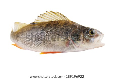 Perch fish isolated on white background