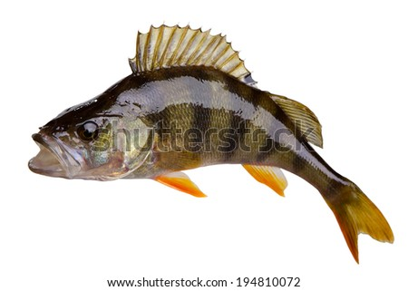 Perch fish stock images royalty free images vectors for White perch fish
