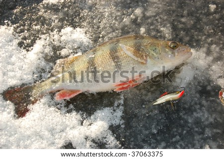 perch fishing on winter