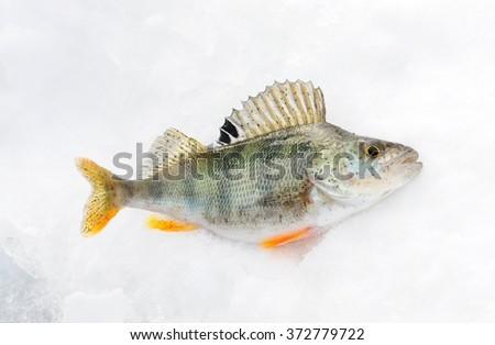 perch ice winter fishing - stock photo