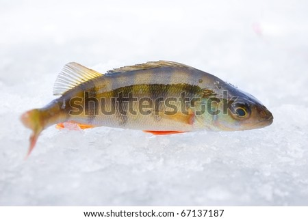 perch on the ice. winter fishing theme - stock photo