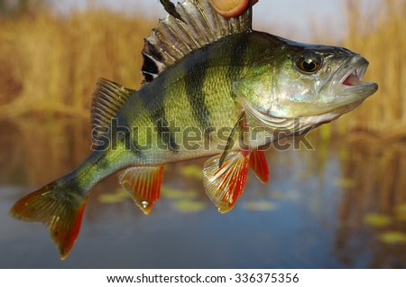 Perch on the river.  - stock photo