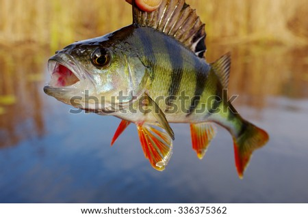 Perch on the river. Shallow focus - stock photo