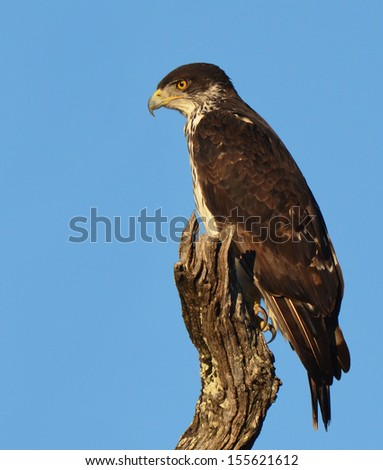 Perched African Hawk Eagle, Aquila spilogaster. Photographed against a perfect blue sky in the Kruger National Park, South Africa.