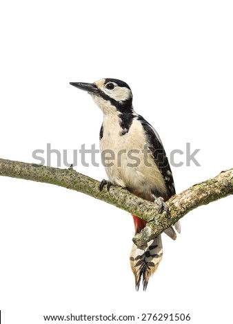 Perched great spotted woodpecker on a horizontal branch with white background - stock photo