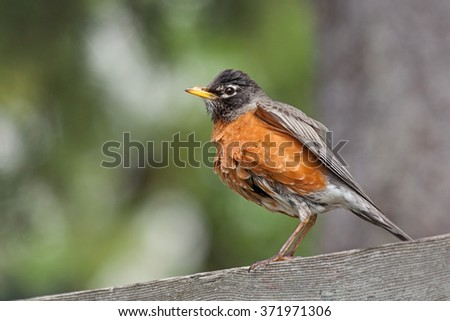 Perched on a graying wooden cedar fence, a wet robin proudly displays its recently bathed orange breast feathers. The bird is framed with a background of a tree and its  green out of focus leaves.