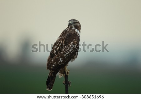 Perched Red Tail Hawk - stock photo