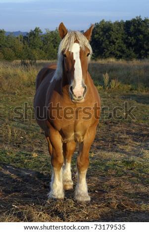 Percheron horse, Loire Valley, France - stock photo