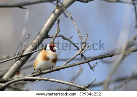 Perching Goldfinch (Carduelis carduelis) in early spring. Moscow region, Russia