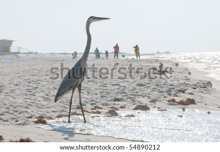 PERDIDO KEY, FL - JUNE 9:  A blue heron stands on the shores of the Gulf of Mexico as BP oil workers clean the beach on June 9,  2010 in Perdido Key, FL. - stock photo