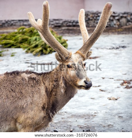 Pere David's deer (Elaphurus davidianus), also known as the milu or elaphure - stock photo