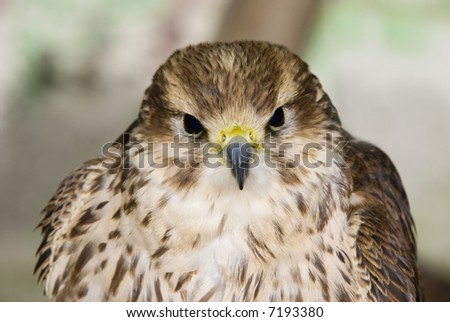 Peregrine Falcon (Falco peregrinus) - landscape orientation - stock photo