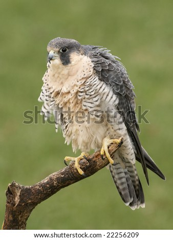 Peregrine Falcon (Falco peregrinus) posing on a branch - stock photo