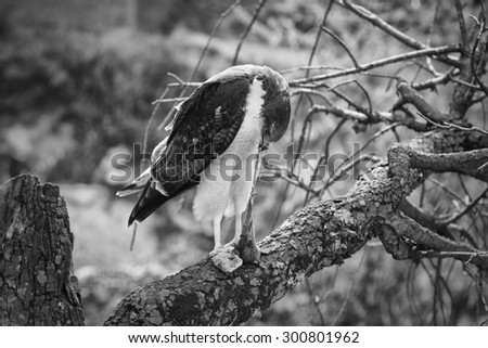 Peregrine Falcon feasting on a piece of meat in black and white - stock photo