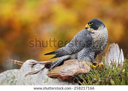 Peregrine Falcon feeding kill pheasant on the rock with yellow and orange autumn background - stock photo