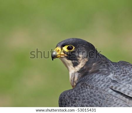 Peregrine Falcon head shot - stock photo