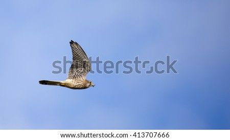 Peregrine Falcon in flight with cricket in its beak, photographed against a wispy blue sky - stock photo