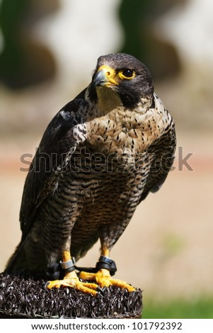 Peregrine Falcon is sitting - stock photo