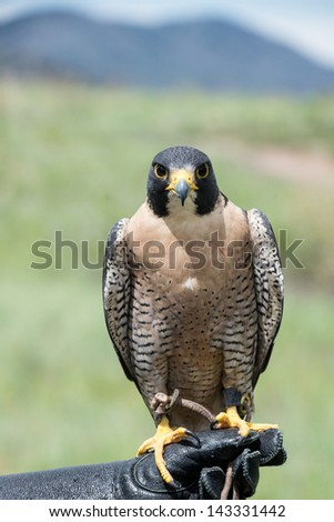 Peregrine Falcon looking straight ahead on a gloved hand - stock photo