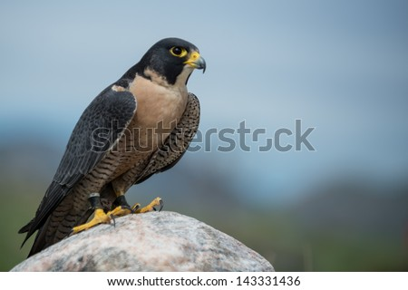 Peregrine Falcon looking to the right - stock photo