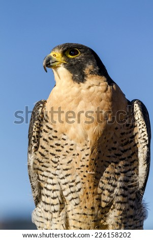 Peregrine Falcon perched in tree in early morning light - stock photo