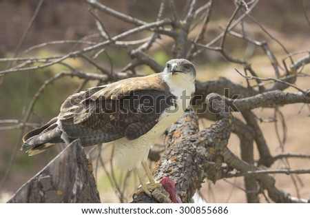 Peregrine Falcon perched on a branch with a piece of meat - stock photo