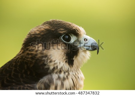 Peregrine Falcon portrait with light green background