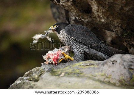 Peregrine Falcon sitting in the rock with catch bird - stock photo