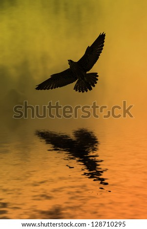 Peregrine falcon soars above water in front of rising sun.